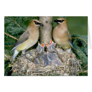 Pair of Cedar Waxwings with young Card