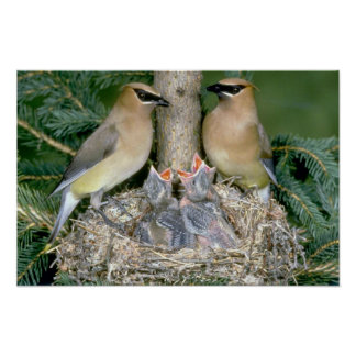 Pair of Cedar Waxwings with young Poster