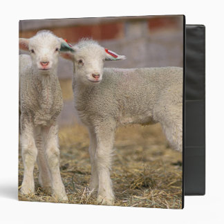 Pair of commercial Targhee Lambs Binder