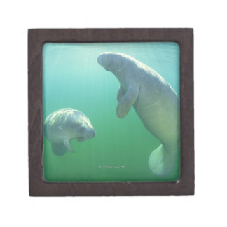 Pair of florida manatees swimming premium jewelry box