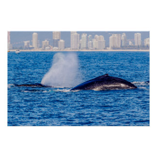 Pair of Humpback Whales Poster