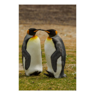Pair of King Penguins, Falklands Poster