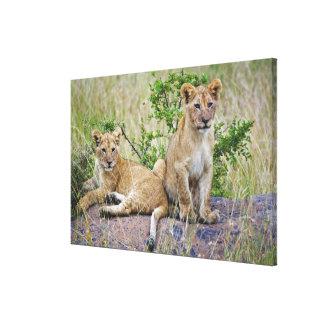 Pair of Lion cubs on rock, Panthera leo, Masai Canvas Print