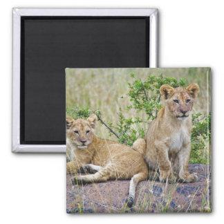 Pair of Lion cubs on rock, Panthera leo, Masai Square Magnet