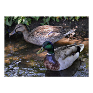 Pair of Mated Mallards Poster