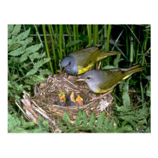Pair of Mourning Warblers with young Postcard