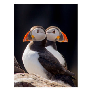 Pair of Puffins Postcard