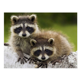 Pair of Raccoons Postcard
