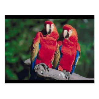 Pair of Red Macaws Postcard