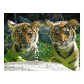 Pair of Tiger Cubs Portrait Postcard