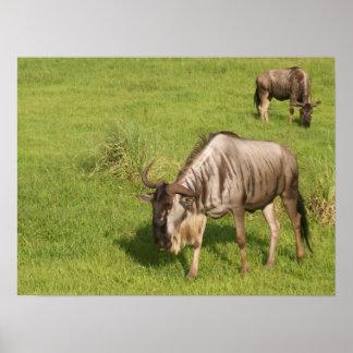 Pair of Wildebeests Poster