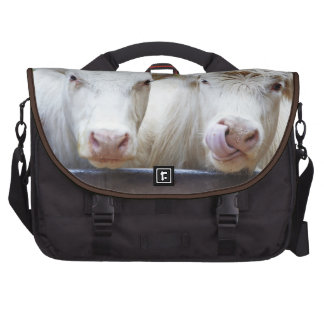 Pair of young white cows at feeding trailor bags for laptop