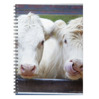Pair of young white cows at feeding trailor spiral note books