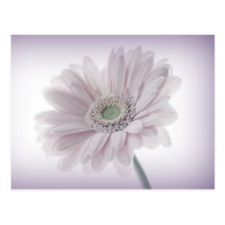 Pale Lilac Sunflower Postcard