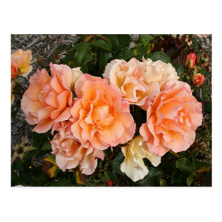 Pale orange roses in bloom in garden postcard