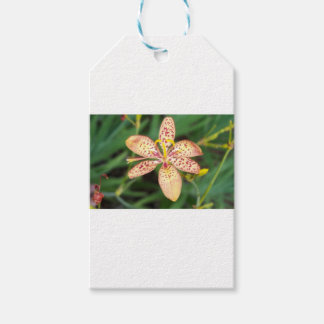 Pale orange spotted Blackberry lily Gift Tags