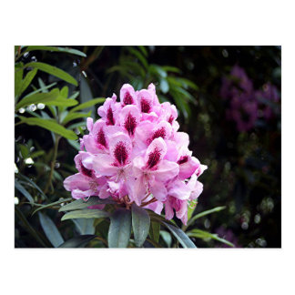 Pale pink rhododendron flower postcard