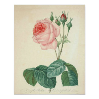 Pale Pink Rose by Redoute Poster