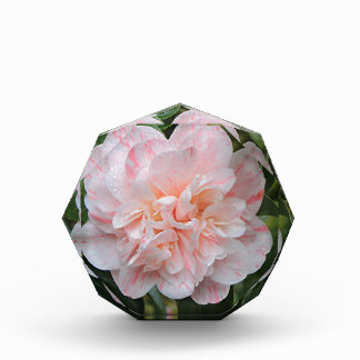 Pale pink striped camellia