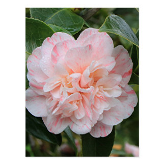 Pale pink striped camellia postcard