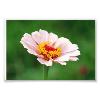 Pale Pink Zinnia Photo Print