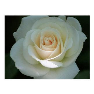 Pale Rose Postcard