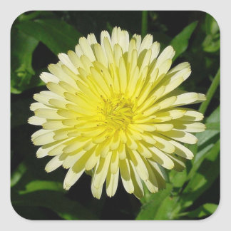 Pale Yellow Mary Bud Marigold Square Sticker