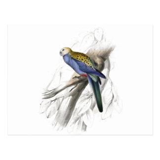 Paleheaded Parrakeet by Edward Lear Postcard