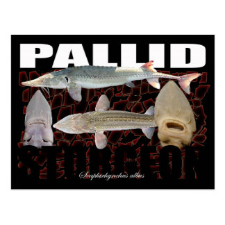 Pallid Sturgeon-Collage-Postcard Postcard