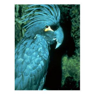 Palm cockatoo has imposing head-dress postcard