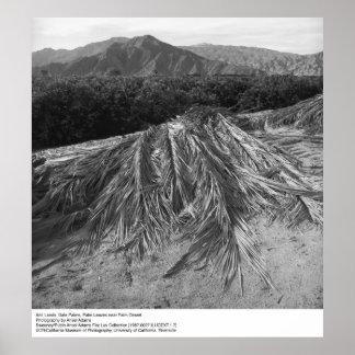 Palm Leaves near Palm Desert by Ansel Adams Poster