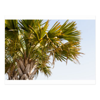 Palm Tree from the East Coast famous Myrtle Beach Postcard