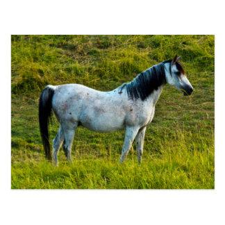 Palouse horse, Colfax, Palouse Area, Washington Postcard
