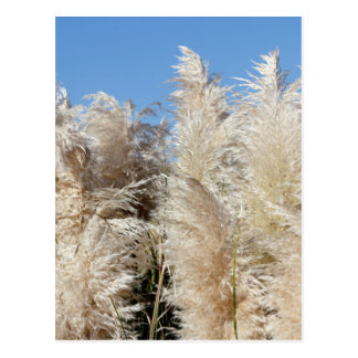 Pampas Grass with a Sunny Blue Sky Postcard