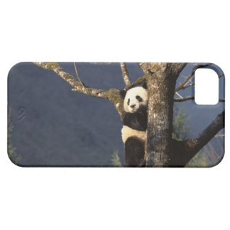 Panda bear in tree , China iPhone 5 Cover
