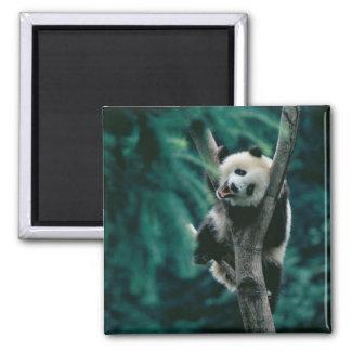 Panda cub on tree, Wolong, Sichuan, China Magnet