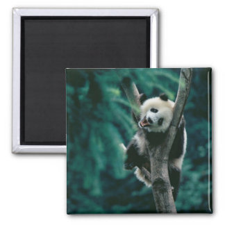 Panda cub on tree, Wolong, Sichuan, China Square Magnet