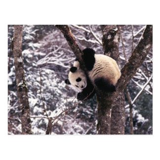 Panda cub playing on tree covered with snow, postcard