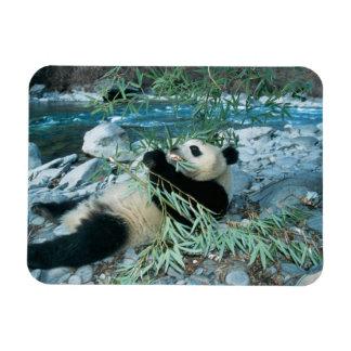 Panda eating bamboo by river bank, Wolong, Magnet