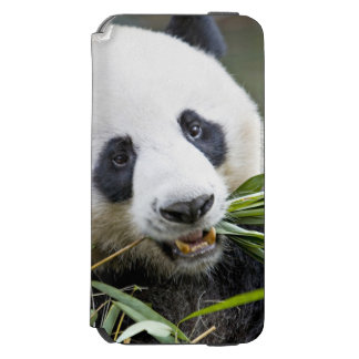 Panda eating bamboo shoots Alluropoda 2 Incipio Watson™ iPhone 6 Wallet Case