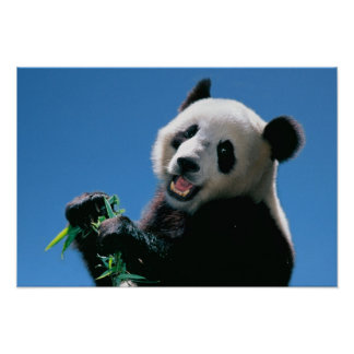 Panda eating bamboo, Wolong, Sichuan, China Poster