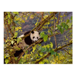 Panda on tree with autumn foliage, Wolong, Postcard