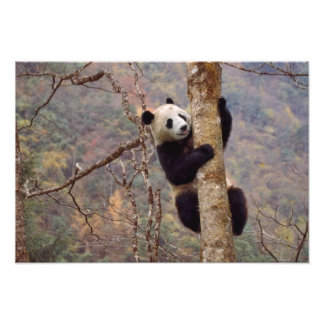 Panda on tree, Wolong, Sichuan, China Photo Print