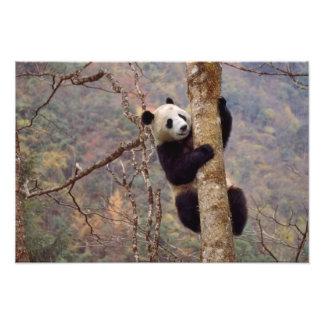 Panda on tree, Wolong, Sichuan, China Photographic Print