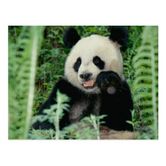 Panda the forest, Wolong, Sichuan, China Postcard