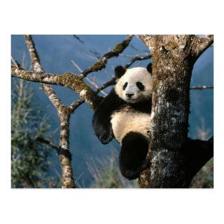 Panda Up A Tree Postcard