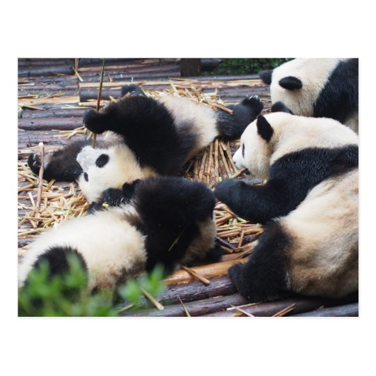 Pandas, Chengdu, China Postcard
