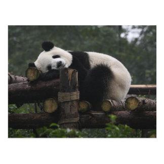 Pandas géants à la protection et aux 3 de panda carte postale