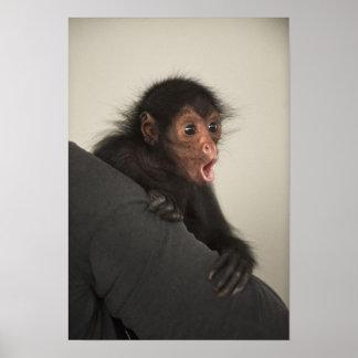 Paniscus rougeaud d'Ateles de singe d'araignée) Posters
