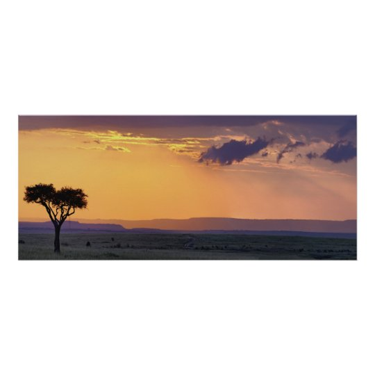 Panoramic view of single acacia tree at poster